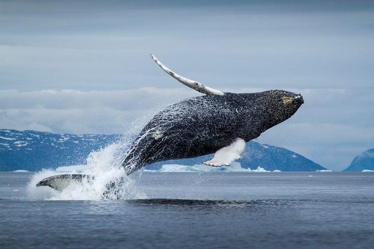 Количество живущих китов