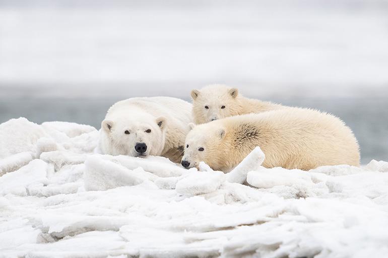 Путешествия белых медведей